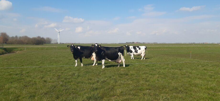 3 koeien van de maatschap Nauta passeren tegelijkertijd de 100.000 kg melk grens !!